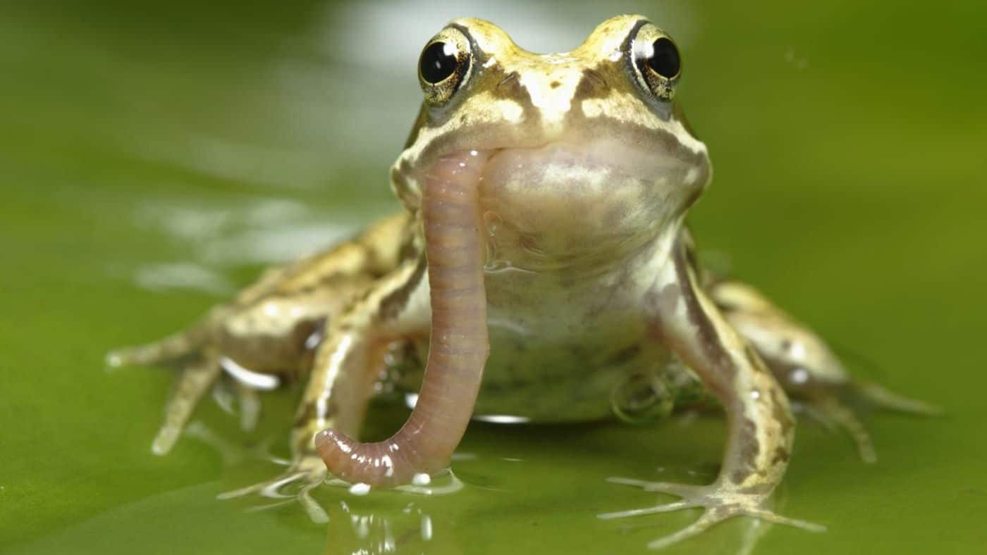 My Frog Won't Eat (And What to do About it)