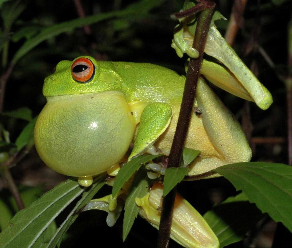 Frog Vocal Sac