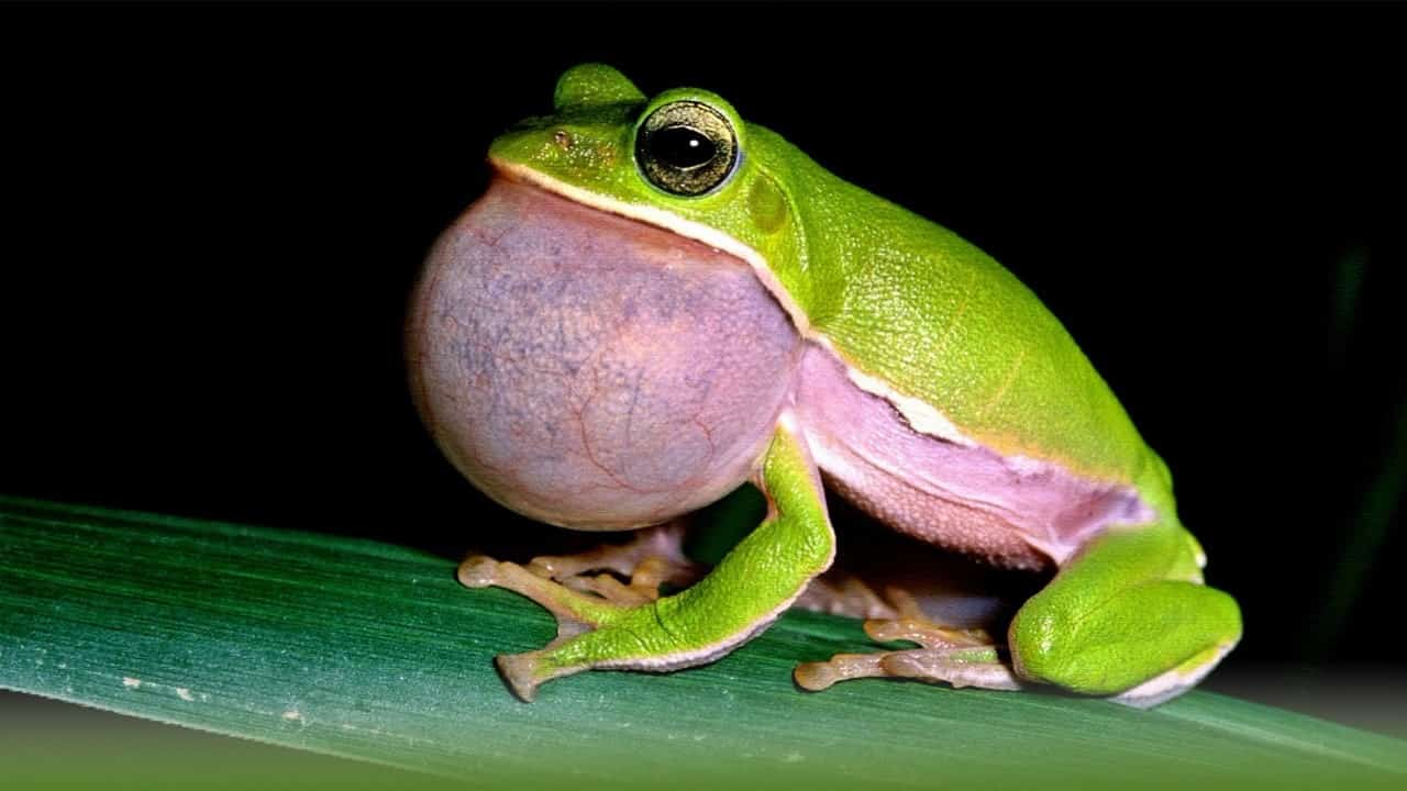 How Do Frogs croak And Why