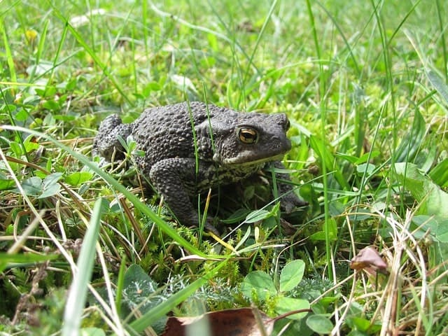 Common toad in a garden