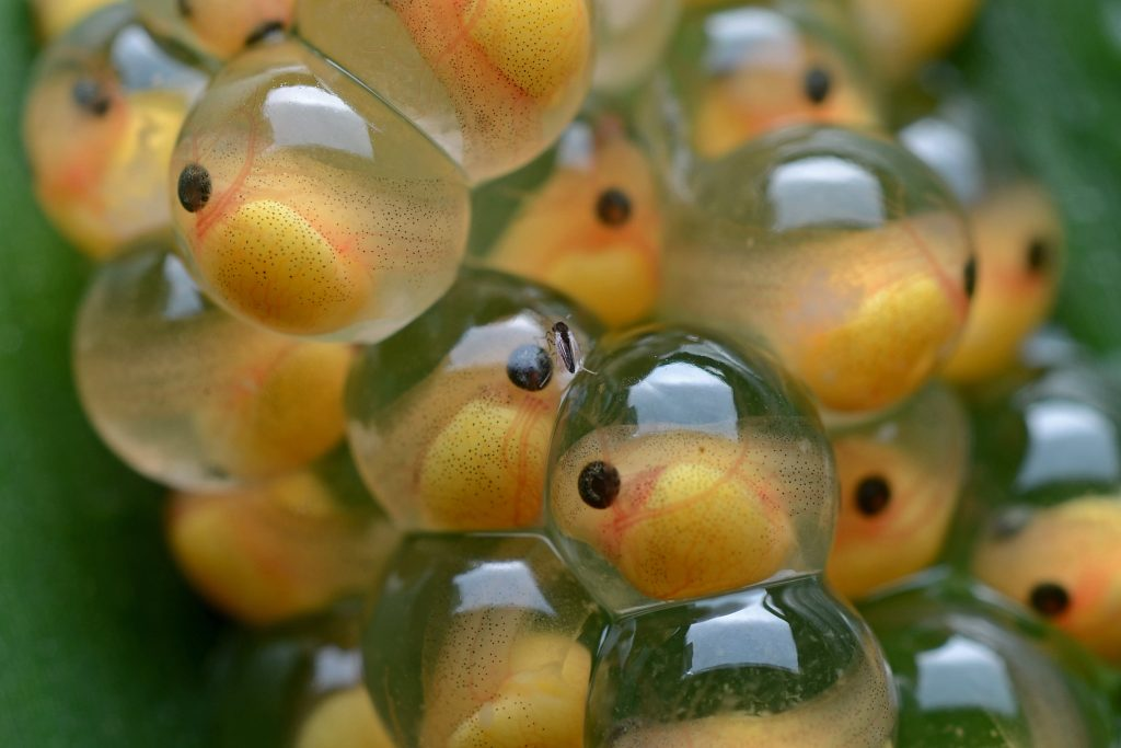 Frog eggs that are turning into tadpoles