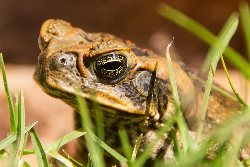 Cane Toad life